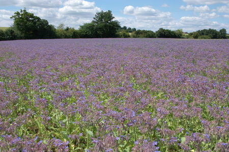 Field of mauve